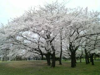 4/9の桜