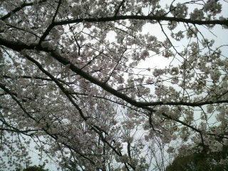 4/9の桜 その2